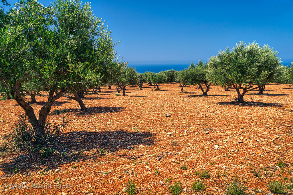 field of olive trees on stony red ground